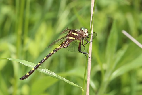 brownspiketail cordulegasterbilineata cordulegastridae spiketails cordulegaster bilineata dragonfly odonata spiketail gallagherfenstatenaturepreserve clarkcounty ohio usa mangoverde
