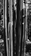 "Fence post cactus, ""Dog Days of Summer"" at TBG, June 10 2014"