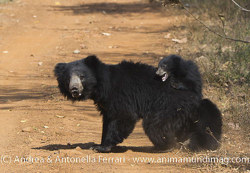 reefwondersdotnet posted a photo:	A mother Sloth bear carrying her two babies, Tadoba NP, India