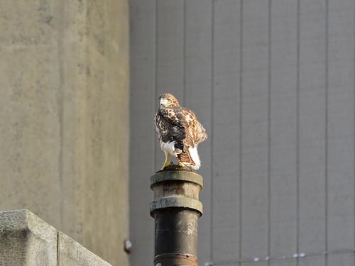 Cathedral Hawk Fledgling (2399)