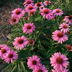 annual plant, flower, plant, flora, purple coneflower, petal,