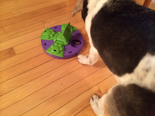 Spenser plays with one of his favorite interactive treat toy dispenser thingies!