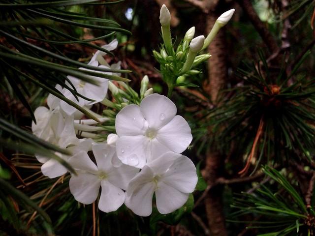 Tall Garden Phlox