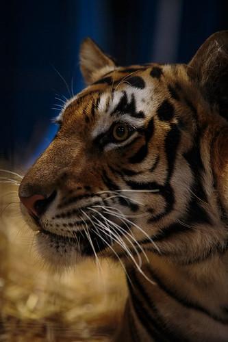 Tiger-8401