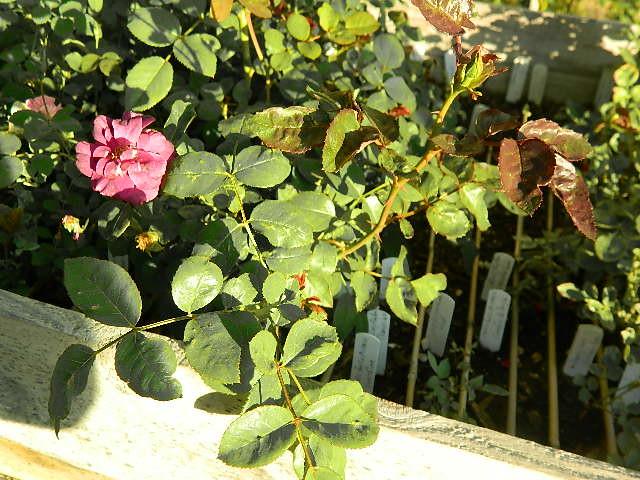 werner von blom x fed (2)