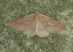 1962 Barred Red - Hylaea fasciaria
