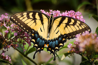 Eastern Tiger Swallowtail 3