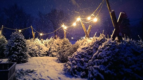 Christmas Trees- Langwater Farm, North Easton | Langwater ...