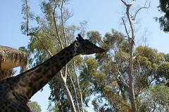 branch, tree, giraffe, fauna, giraffidae, safari, wildlife,