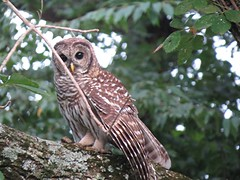 Barred Owl/ Ruschman Home/ 8-10-2014