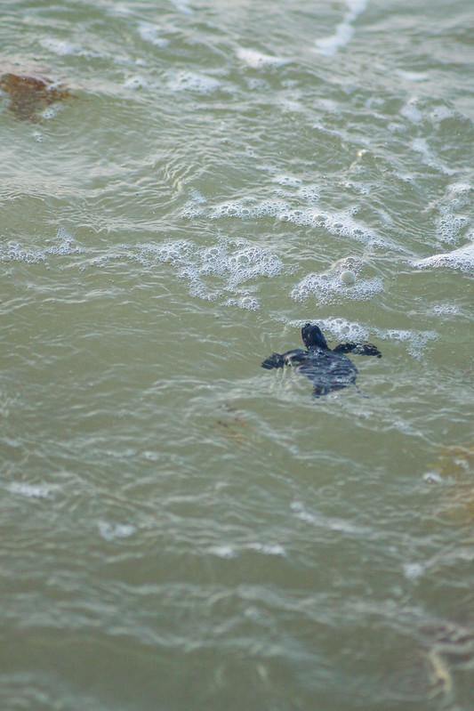 Sea Turtle Hatchling Swimming in Ocean