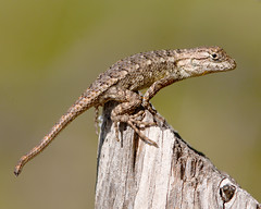 Texas Spiny Lizard (Juvenile)