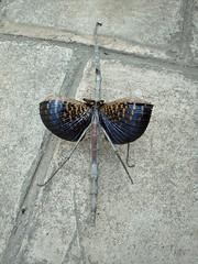 Phasmidae