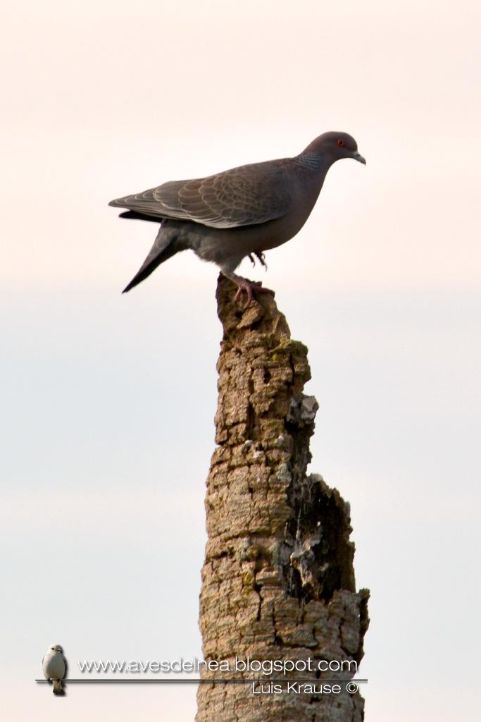DSC_1294blPaloma picazuró (Picazuro Pigeon) Patagioenas picazuroog