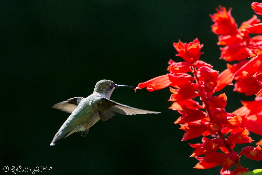 Hummingbirds No Happy Dance Yet Birds In Photography