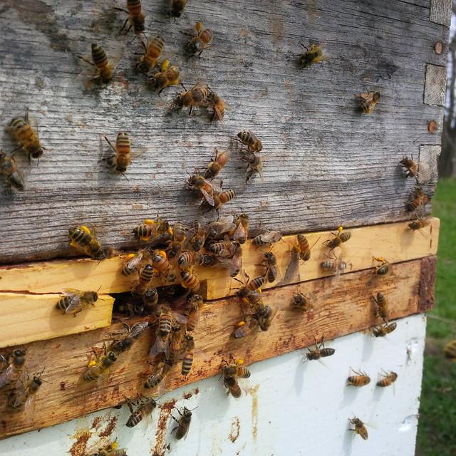 Bees Hauling Pollen