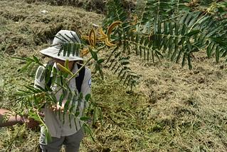 志工清理赤軸木。(圖片來源:守護五溝工作站)