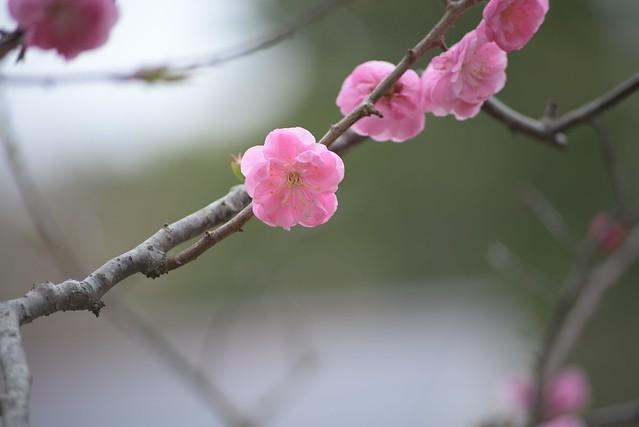 plum blossom 5