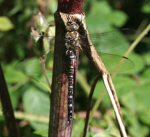 Migrant Hawker Aeshna mixta Tophill Low NR, East Yorkshire August 2014