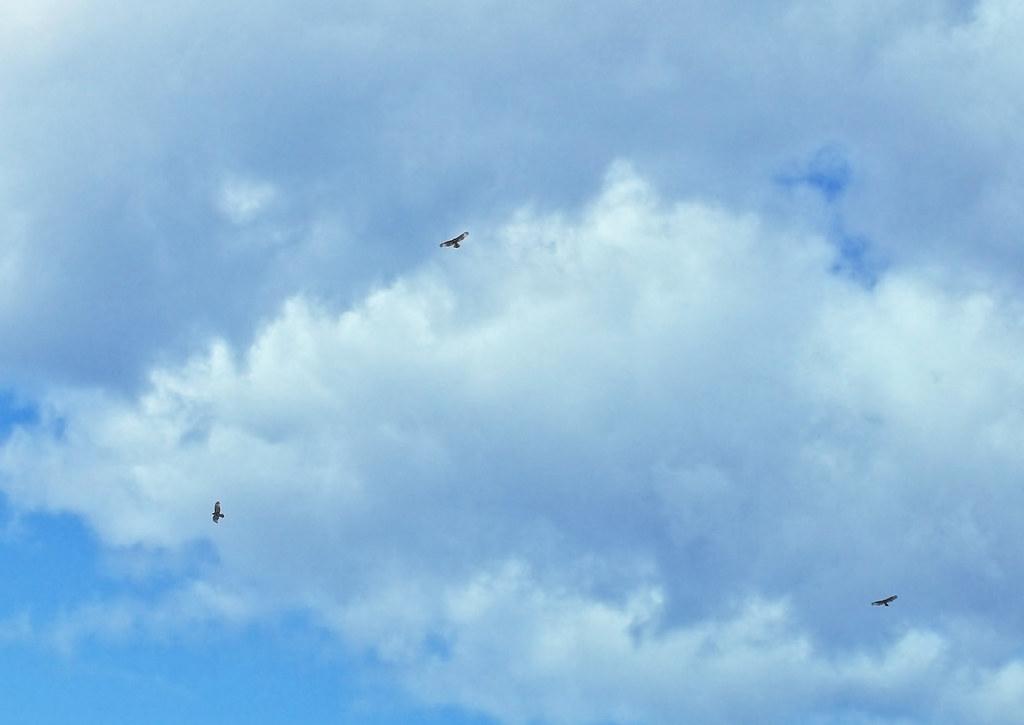 Three hawks over the Lower East Side