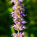Small photo of Blue Giant Hyssop) Agastache foeniculum)