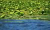 Ninfee, Skadar lake