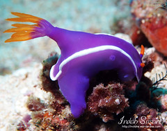 Hypselodoris sp