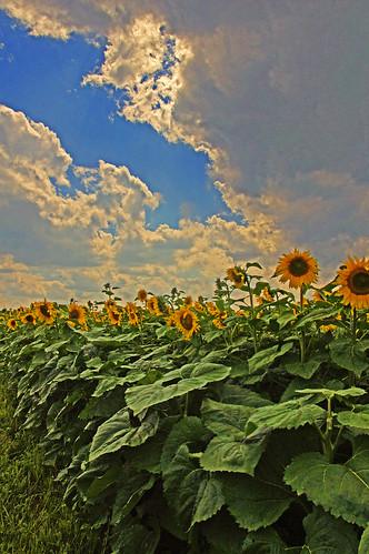 sky clouds sunflowers difficult calkinsrdandcloverstpittsford