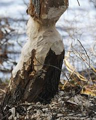 Beaver Chewed Tree