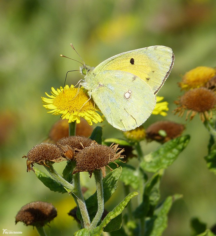 P1080864 - Clouded Yellow, Whiteford