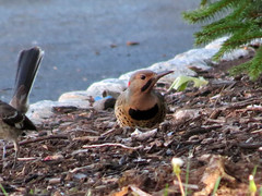 flicker being pestered by mockingbird
