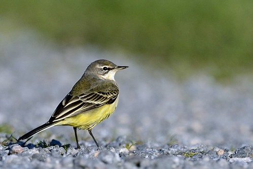 birds sweden aves sverige fåglar yellowwagtail motacillaflava gulärla