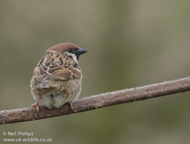 tree sparrow-13