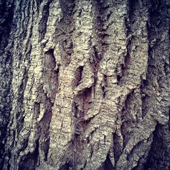 The bark of one of our old chestnut trees.