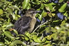 Great-tailed Grackle - Juvenile