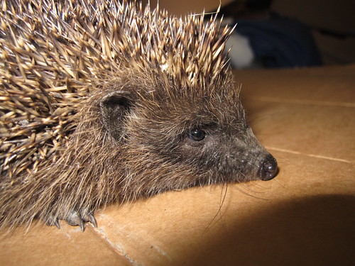 Hedgehog 0316