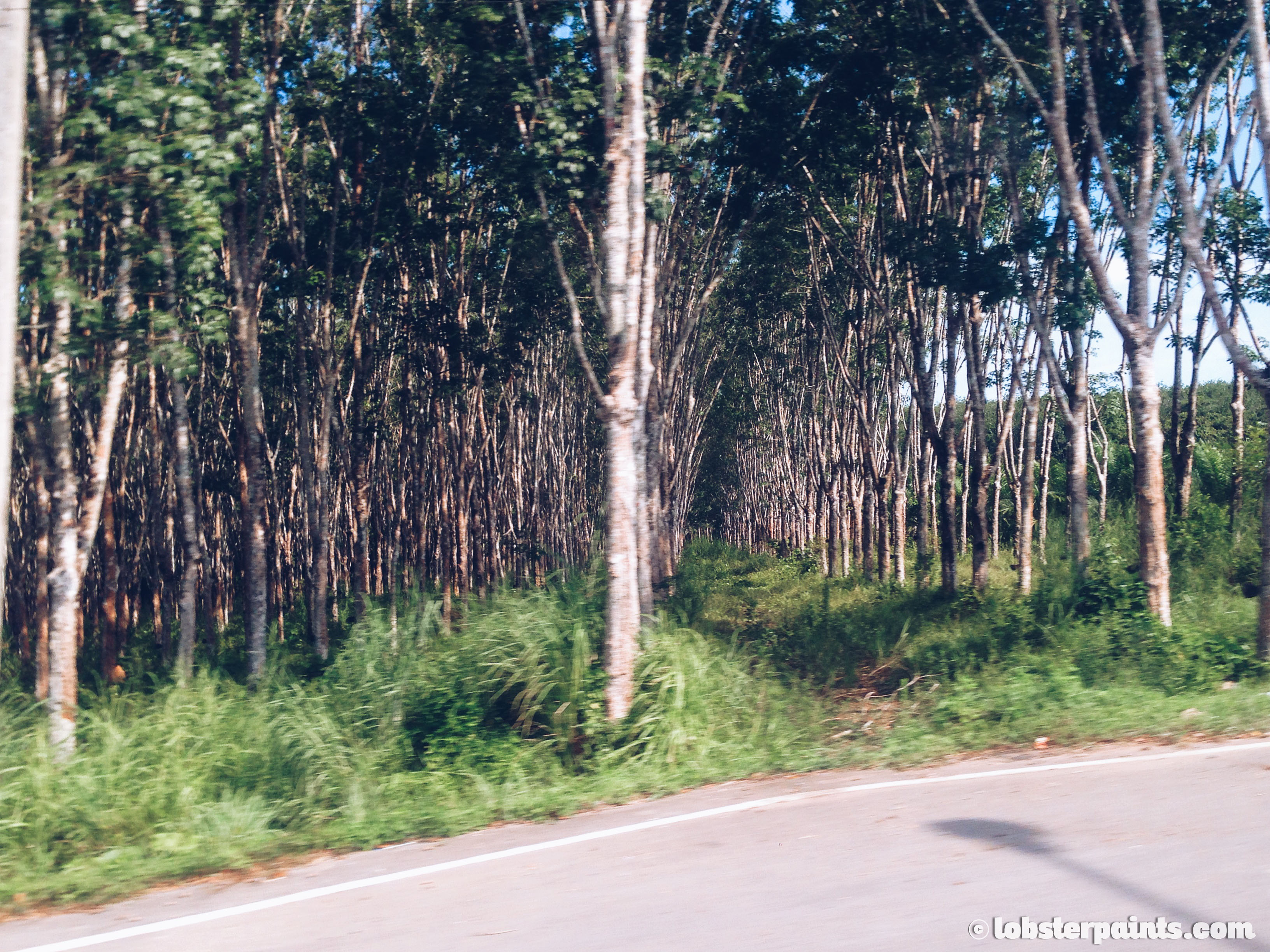 Rubber Plantations | Hat Yai, Thailand