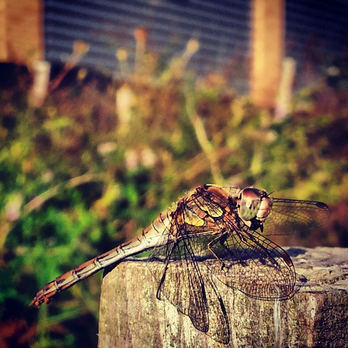 #CommonDarter #Dragonfly