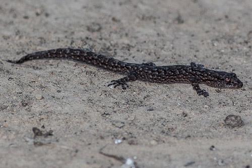 gecko ?