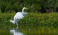 Grande Aigrette Ardea alba  Great Egret