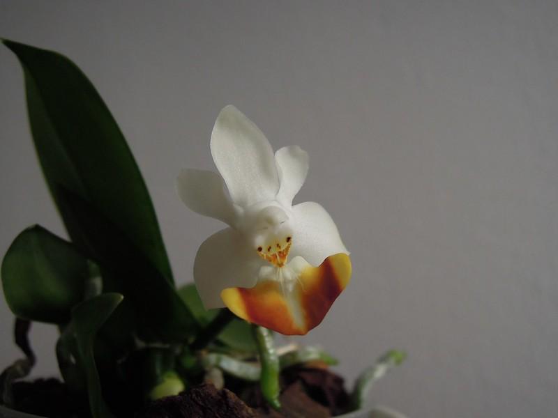 Phalaenopsis lobbii f. flava - Seite 2 15283018076_88f9444e8d_c