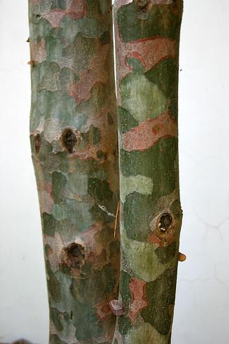 18_camo_pine