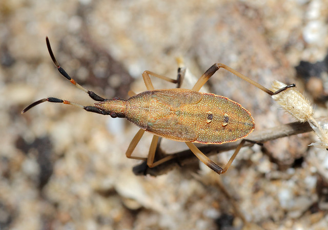 Dicranocephalus albipes - kutyatej-karimáspoloska