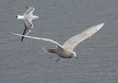 Iceland Gull, 1st winter
