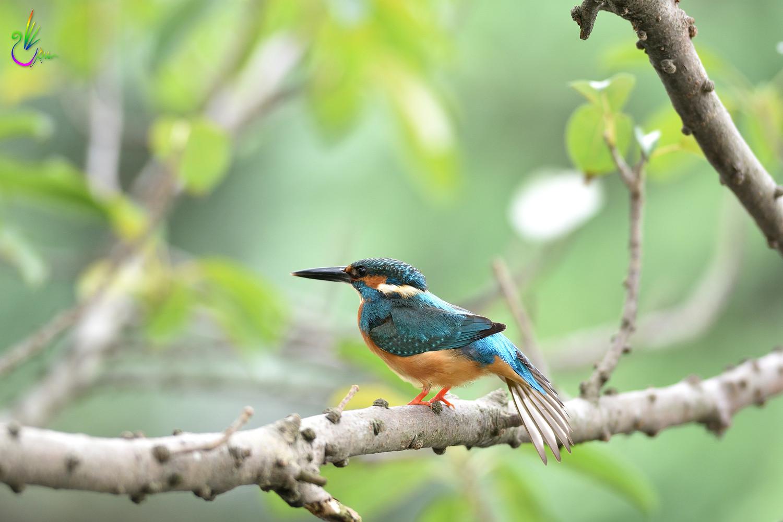 Common_Kingfisher_4611
