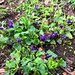Time to lay down and smell the ground. #violets #violaodorata #spring #flowers
