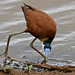 Small photo of African Jacana (Actophilornis africana)