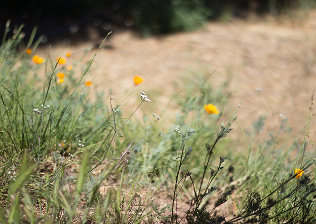 wildflowers, California poppies