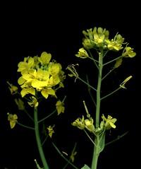 56026.02 Brassica rapa chinensis