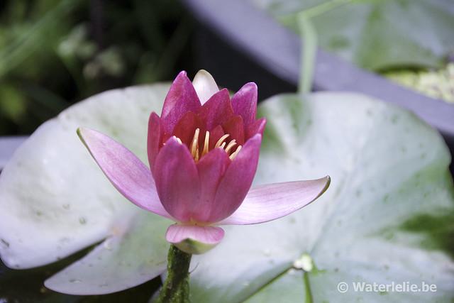 Waterlelie Froebelii / Nymphaea Froebelii